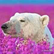 Polar Bear on My World.