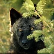 Черный Волк on My World.